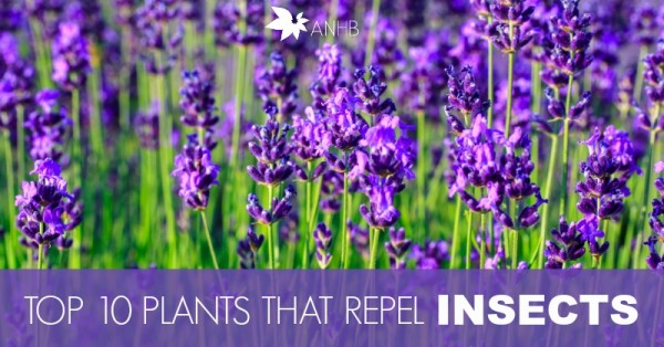 top 10 plants that repel unwanted insects all natural home and beauty. Black Bedroom Furniture Sets. Home Design Ideas
