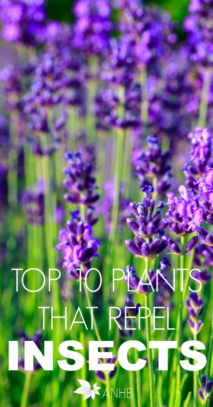 Top 10 Plants That Repel Insects #insects #plants #health #indoor